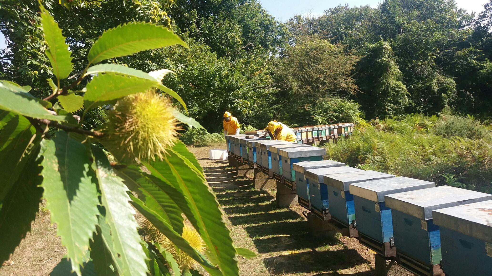 raccolta polline edera settembre 2020